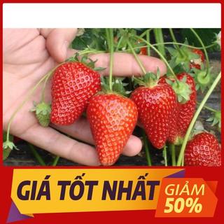 Hạt giống Dâu tây Đỏ QUẢ SIÊU TO và NĂNG SUẤT 100 Hạt