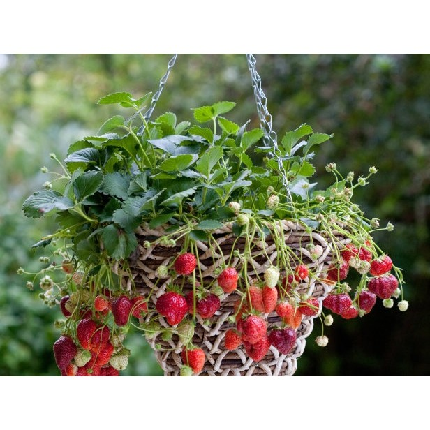 FREESHIP 99K TOÀN QUỐC_COMBO hạt giống dâu đỏ dâu tây kem 40 viên nén ươm hạt và kích mầm
