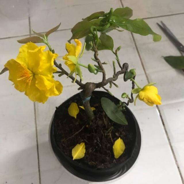 Mai quắn (xoắn) cây ghép mini như hình
