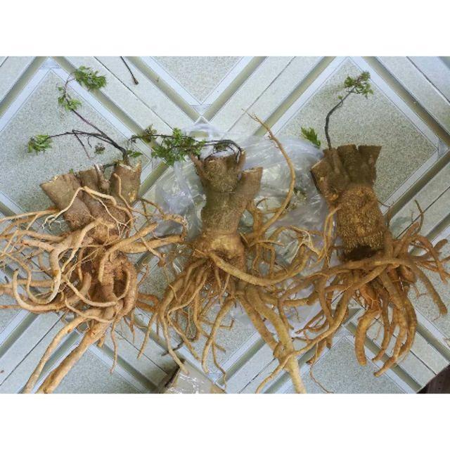Rễ Đinh Lăng Tươi Nguyên Củ (1kg)