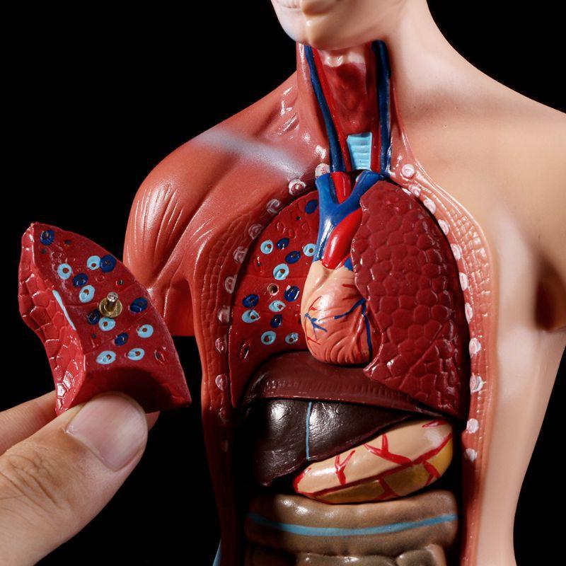 Mô Hình Giải Phẫu Cơ Thể Người Dùng Trong Giảng Dạy Y Học