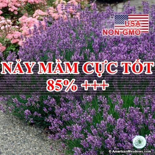 50h Hạt Giống Hoa Oải Hương Lavender (C1.204| B6*V13)