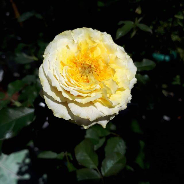 Hoa hồng ngoại Beatrice hoa chùm rất to màu sắc độc đáo