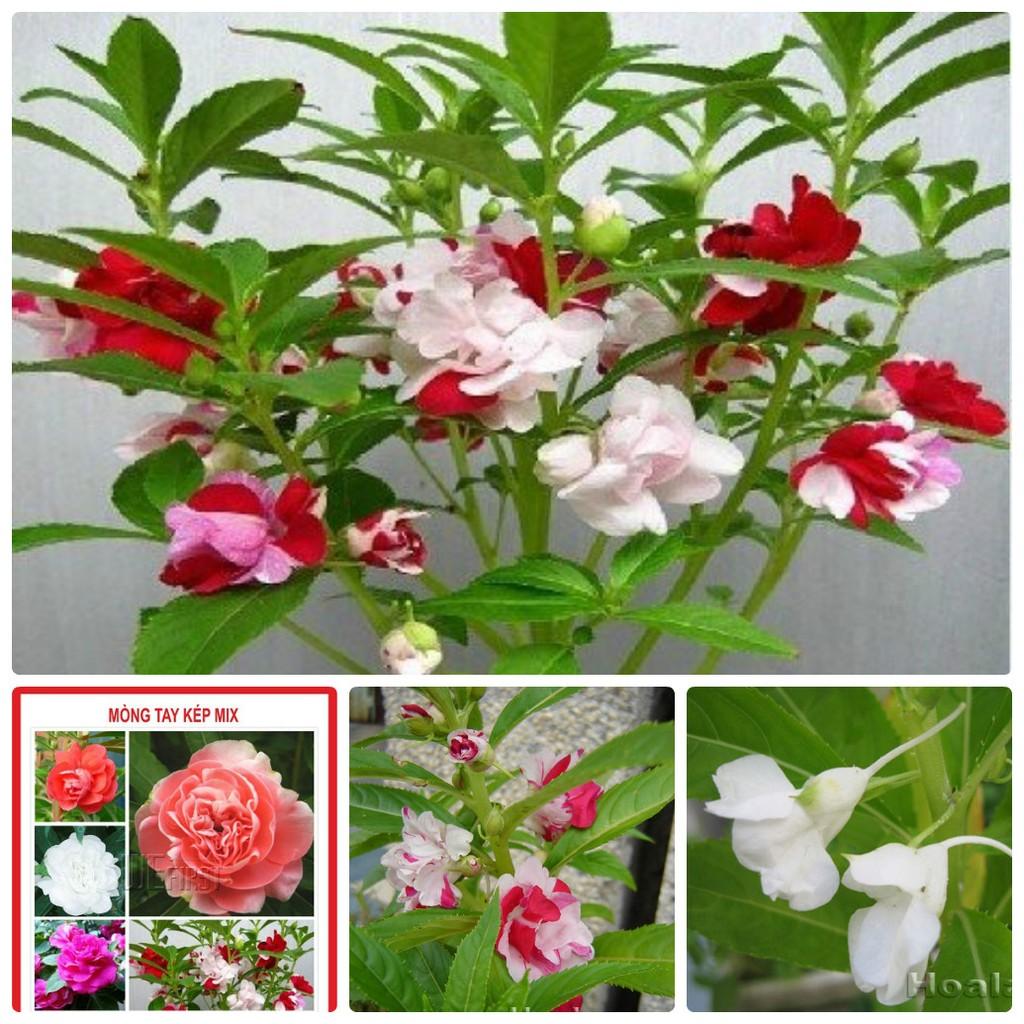 Hạt giống hoa đẹp Hạt giống ớt tùy chọn các loại - 2606609 , 213600092 , 322_213600092 , 360000 , Hat-giong-hoa-dep-Hat-giong-ot-tuy-chon-cac-loai-322_213600092 , shopee.vn , Hạt giống hoa đẹp Hạt giống ớt tùy chọn các loại