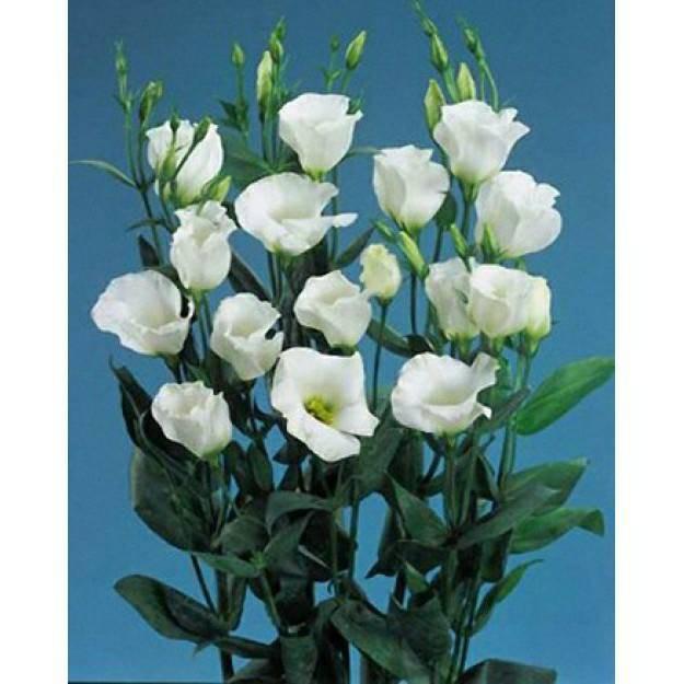 Hạt giống hoa Cát tường trắng F1 Nga